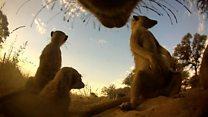 Meerkat cam reveals newborn pups