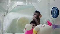 Zhong Zhong e Hua Hua, os primeiros primatas clonados do mundo