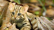 世界最小のネコ 視力は人間の6倍