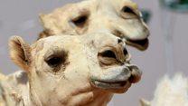 Скандал на конкурсе красоты: верблюдов кололи ботоксом