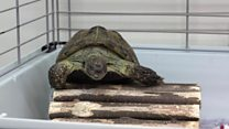 Tortoise found 322m away after six months
