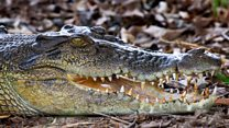 Would you be a 'croc-wrangler'?