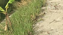 ইস্পাতের মতো শক্ত ঘাস বিন্না নিয়ে গবেষণা, মাথার চুল ছিড়ে ফেলার রোগ ট্রিকোটিলোম্যানিয়া