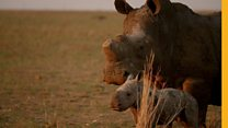 Could farming rhinos save them from extinction?