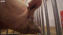 为什么中国要进口英国的猪精液?
