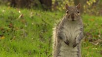Should grey squirrels be culled?