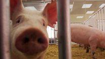 £200,000 deal for boar semen