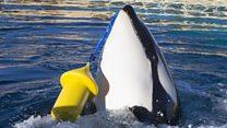 """Escucha a Wikie, la orca que puede decir """"Hello"""" y """"Bye"""""""