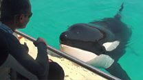 Killer whale says 'hello'