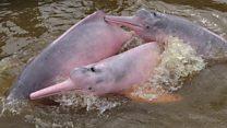 O homem que arrisca a vida para salvar botos-cor-de-rosa na Amazônia