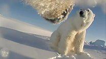 Collar cams reveal polar bear's-eye view