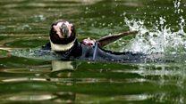 Wetsuit-wearing bald penguin dies
