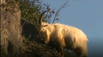 Great Orme goat evades Army capture