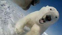Білим ведмедям не вистачає їжі