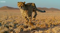 Como escapar do guepardo, o animal terrestre mais rápido do mundo?