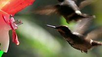 بالفيديو: كيف يلتقط طائر الطنان الرحيق؟