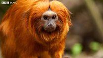 Sem macacos, mosquitos da febre amarela picam humanos
