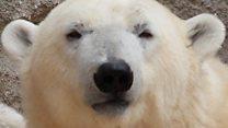 La vida en el Ártico desde la perspectiva de un oso polar