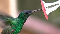 Тайна языка колибри