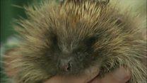 Hunt for hedgehog fan to stop decline