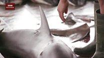 Perdagangan hiu di Indonesia masih tinggi