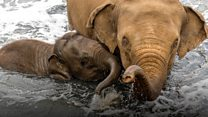 Young elephant survives deadly virus
