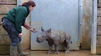 Belle the hand-reared rhino
