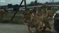 Lions run towards the car