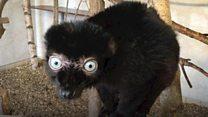 For the love of lemurs