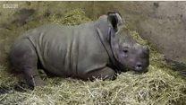 Як зоологи врятували носороженя