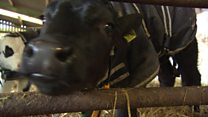How keeping cows warm can fight superbugs