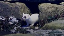 Rare white stoat filmed by wildlife artist