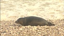 Rescued seal pups released back to wild