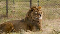 Lions rescued from chaos of war