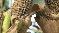 En Tanzanie, une histoire de maïs et de prédateurs