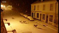 鹿が町の中を歩いてくる……雪に包まれた英スコットランド