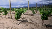 South Africa's wilting vineyards