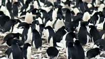 How 1.5m penguins managed to hide