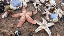 Dead starfish and lobsters cover beaches