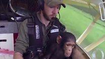 चिंपांझीची हवाई सफर!