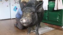 The pig who knows no boundaries