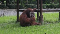 Zoo  orangutan smokes a thrown cigarette