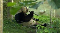 Giant panda breeding programme suspended