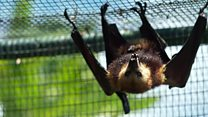 Meet the Mauritius fruit bat