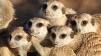 New homes needed to save meerkats