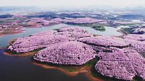 Drone captures stunning China blossoms