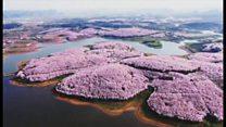ซากุระบานสะพรั่งรับฤดูใบไม้ผลิ