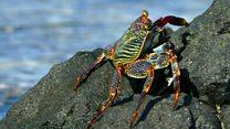 Las mortales anguilas y pulpos que cangrejos brasileños deben enfrentar para poder comer