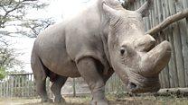 Вымирающий вид: как спасти северного белого носорога?