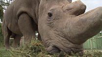 Le dernier mâle rhinocéros blanc du Nord s'est éteint